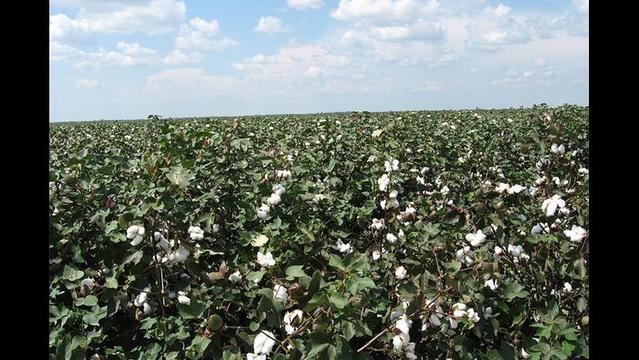 Louisiana Cotton Acreage Up, Prices Still Low
