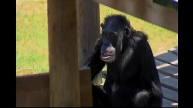Inside North Louisiana's Chimp Haven
