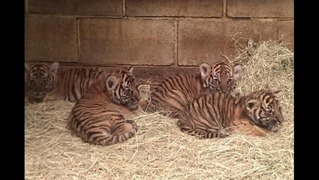 Web Extra: Tiger Cubs Named at LR Zoo