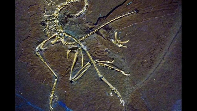 Fossil Study Confirms Archaeopteryx Flew Like a Bird