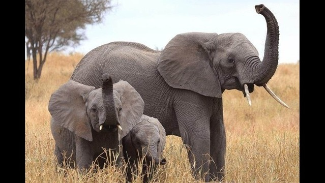 Elephants Can Outsniff Dogs and Other Species (Like Us)