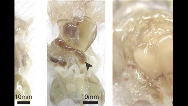 See-Through Mice May Sound Icky, But They're Useful to Scientists