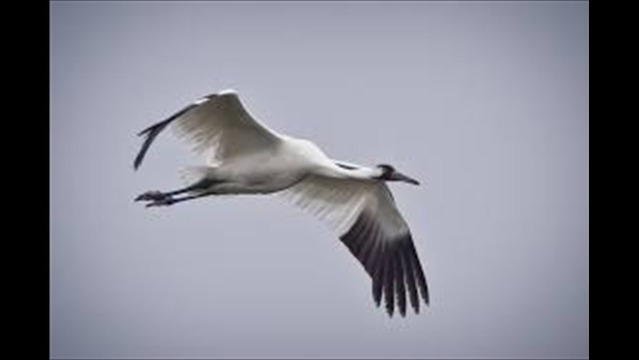 Chevron Recognized for Supporting Whooping Crane