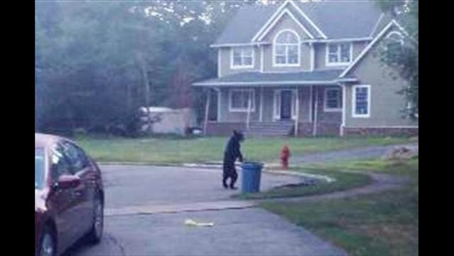 WEB EXTRA: Walking Bear in Viral Video Is Real and Probably Injured, Say Experts