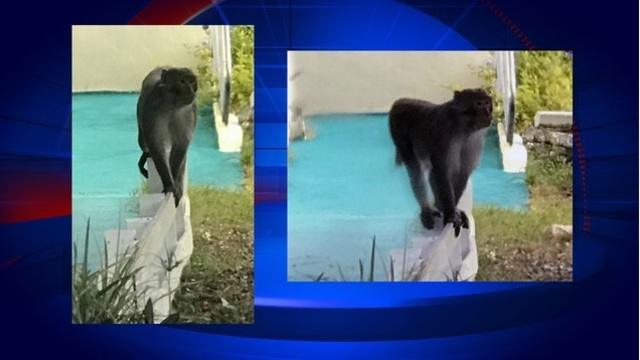 Wild monkey spotted in Florida suburb