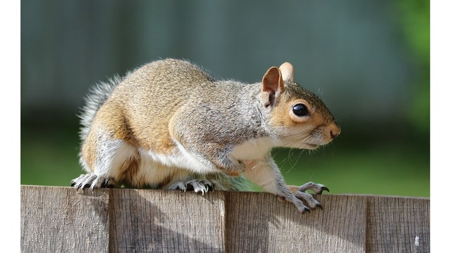 3 squirrels apprehended following 6 attacks on humans